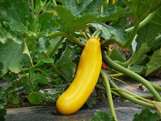 Fast Growing Salad Vegetables Zucchini or Summer Squash