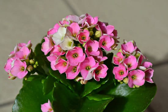 Kalanchoe Cutest Small Indoor Plants