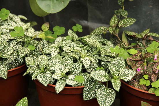 Polka Dot Plant Hypoestes Phyllostachya Cutest Small Indoor Plants