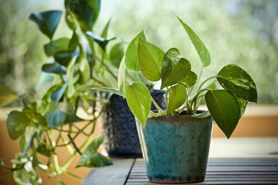 Pothos Money Plant Cutest Small Indoor Plants