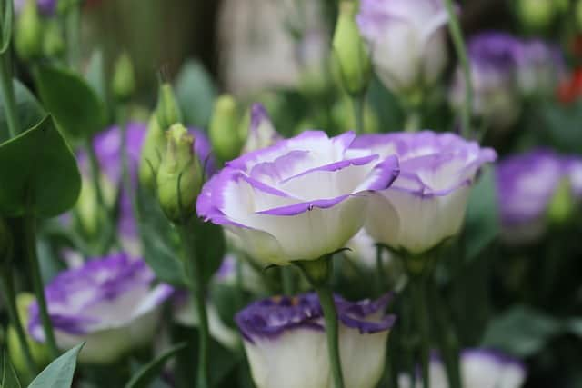 Rose Bush Alternatives Lisianthus