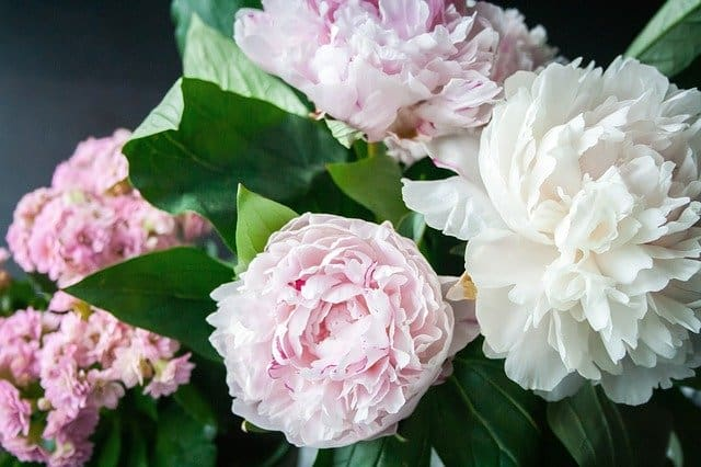 Rose Bush Alternatives Peony