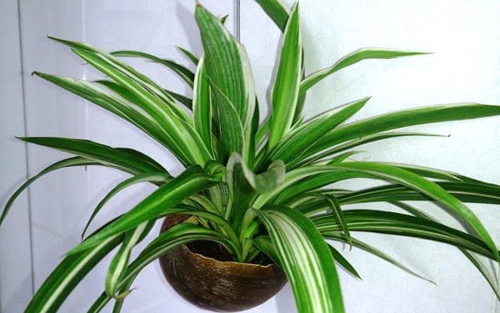 Spider Plant Cutest Small Indoor Plants
