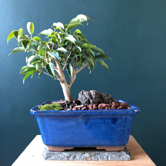 Weeping Fig Cutest Small Indoor Plants