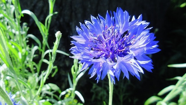 Worthy Easy and Fast Growing Flower Seeds Bachelor's ButtonCornflower