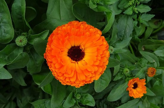 Worthy Easy and Fast Growing Flower Seeds Calendula English or Pot Marigold
