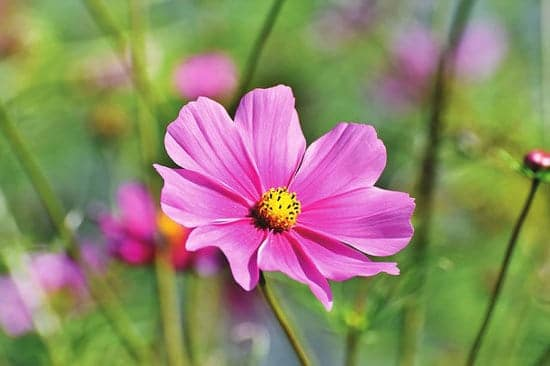 Worthy Easy and Fast Growing Flower Seeds Cosmos