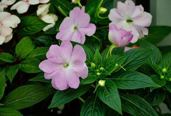 Worthy Easy and Fast Growing Flower Seeds Impatiens