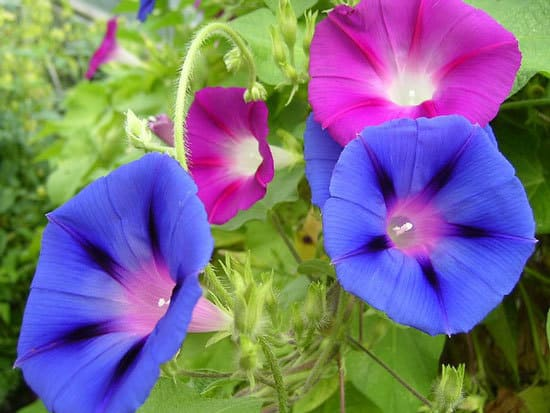 Worthy Easy and Fast Growing Flower Seeds Morning Glory