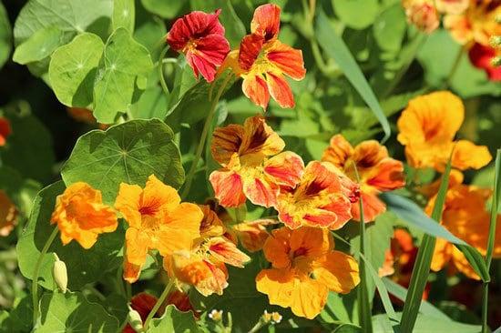 Worthy Easy and Fast Growing Flower Seeds Nasturtiums