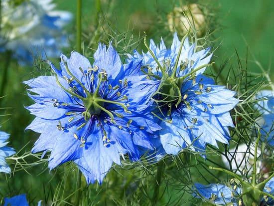 Worthy Easy and Fast Growing Flower Seeds Nigella Damascene