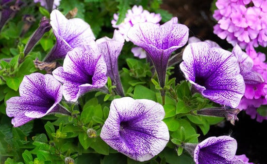Worthy Easy and Fast Growing Flower Seeds Petunia