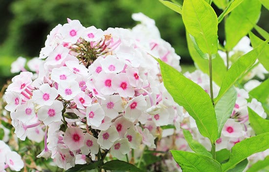 Worthy Easy and Fast Growing Flower Seeds Phlox