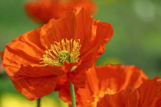 Worthy Easy and Fast Growing Flower Seeds Poppies California Poppies
