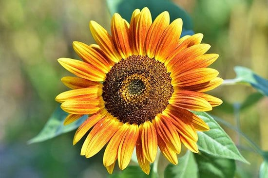 Worthy Easy and Fast Growing Flower Seeds Sunflowers