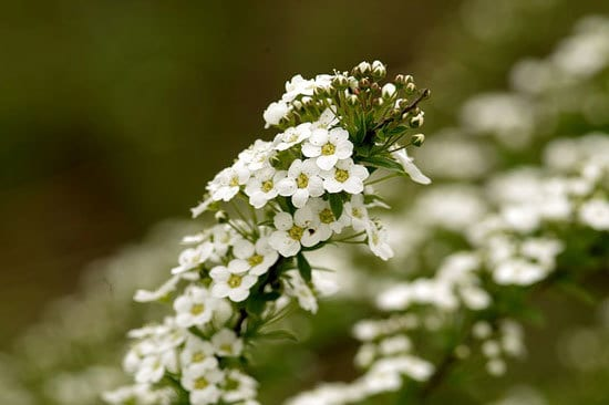 Worthy Easy and Fast Growing Flower Seeds Sweet Alyssum