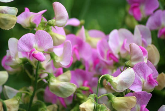 Worthy Easy and Fast Growing Flower Seeds Sweet Pea
