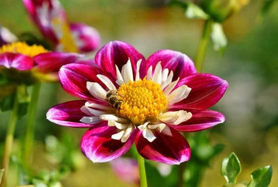 Worthy Easy and Fast Growing Flower Seeds Zinnias