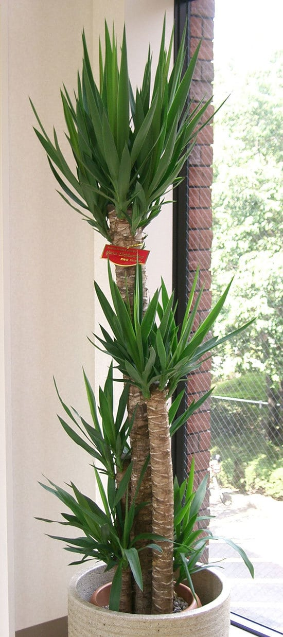 Yucca Cane Plant Cutest Small Indoor Plants