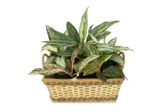Best Bathroom Plants Aglaonema