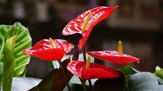 Best Bathroom Plants Anthurium