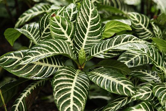 Best Bathroom Plants Calathea Zebra Plant