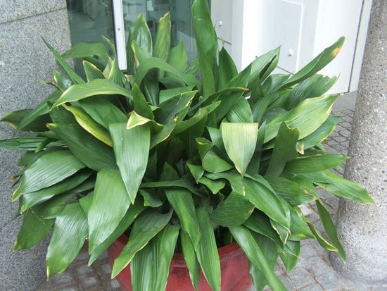 Best Bathroom Plants Cast Iron Plant