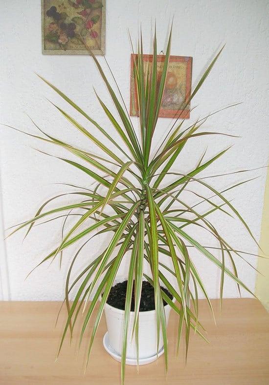 Best Bathroom Plants Dracaena