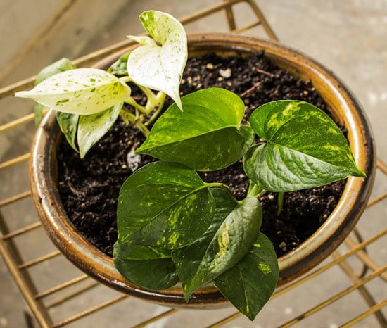 Best Bathroom Plants Golden Pothos