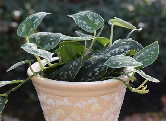 Best Bathroom Plants Heart Leaf Philodendron