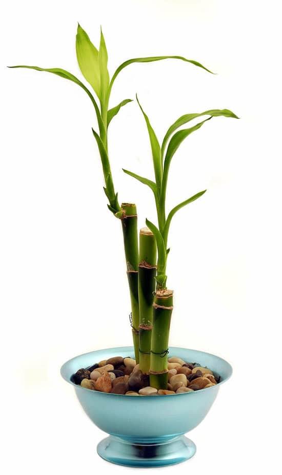 Best Bathroom Plants Lucky Bamboo