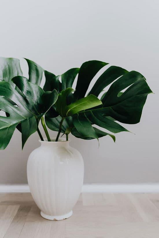 Best Bathroom Plants Monstera