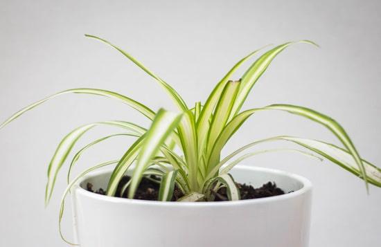 Best Bathroom Plants Spider Plant