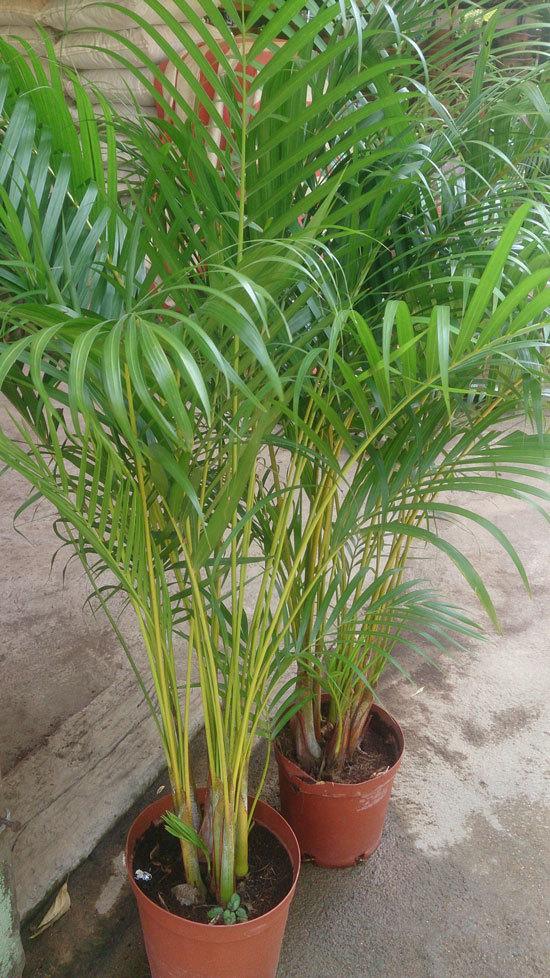 Best Bedroom Plants Areca Palm