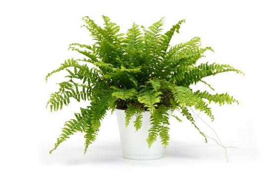 Best Bedroom Plants Boston Fern