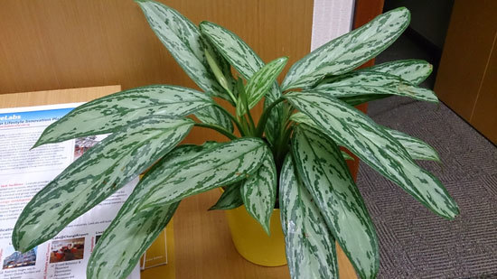 Best Bedroom Plants Chinese Evergreen