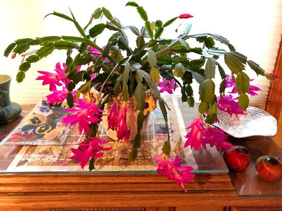 Best Bedroom Plants Christmas Cactus