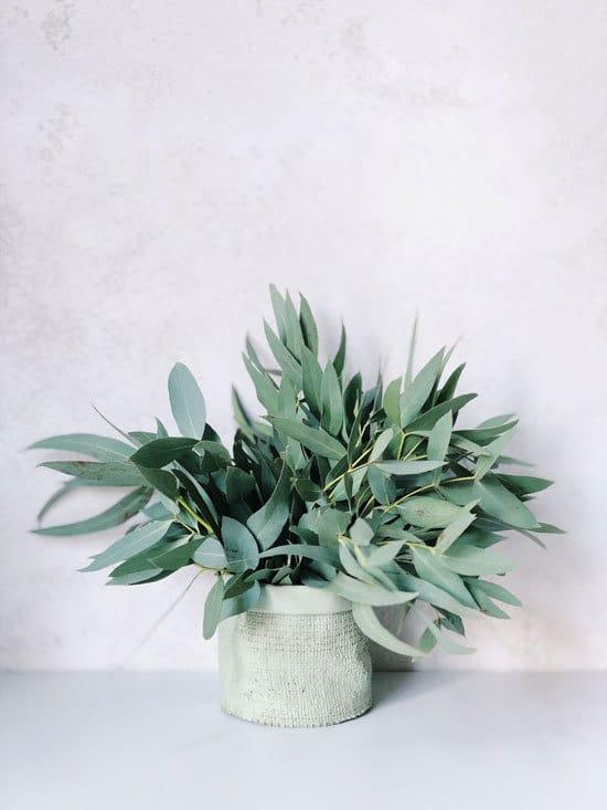 Best Bedroom Plants Eucalyptus