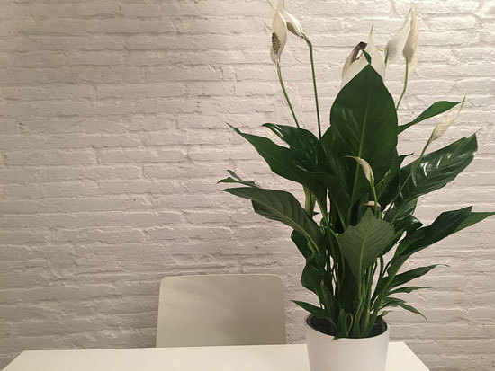 Best Bedroom Plants Peace Lilly