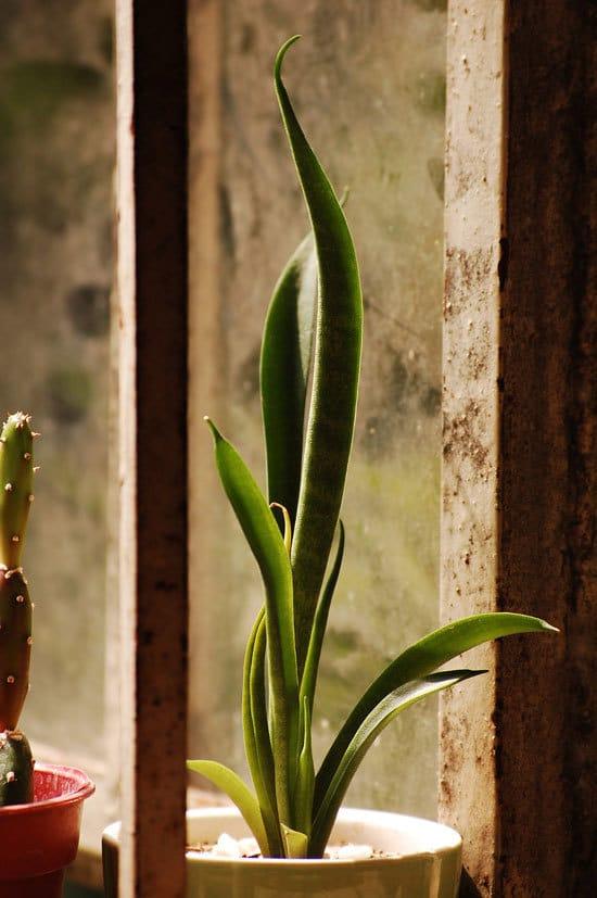 Best Bedroom Plants Snake Plant