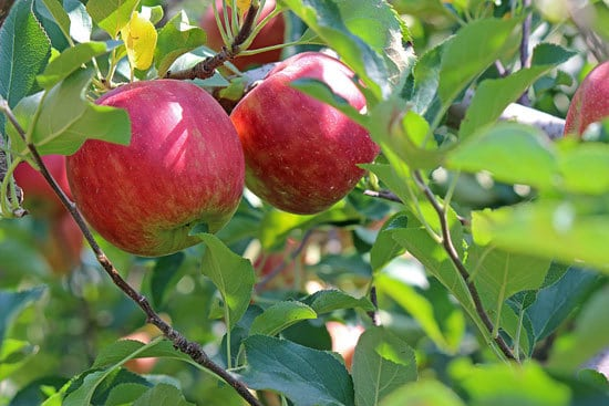 Best Fruit Trees To Grow In Containers Apple 1