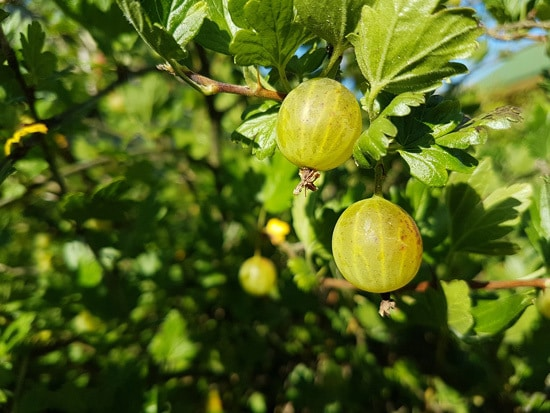 Best Fruit Trees To Grow In Containers Gooseberry 2