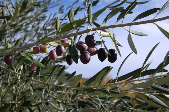 Best Fruit Trees To Grow In Containers Olive