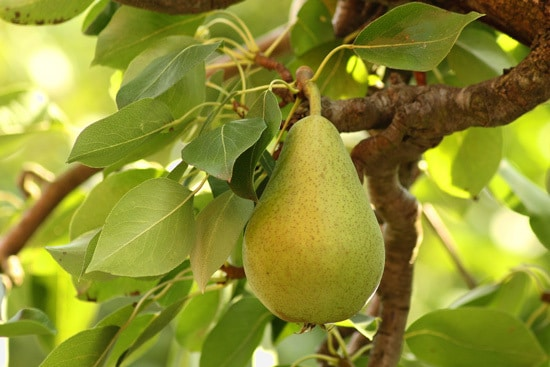 Best Fruit Trees To Grow In Containers Pear 1