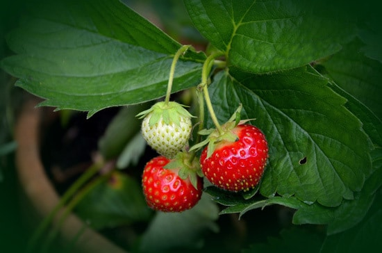 Best Fruit Trees To Grow In Containers Strawberry 1