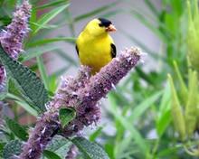Best Perennial Herbs Garden Plants Anise Hyssop 1
