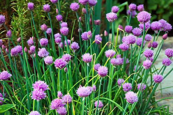 Best Perennial Herbs Garden Plants Chives 1