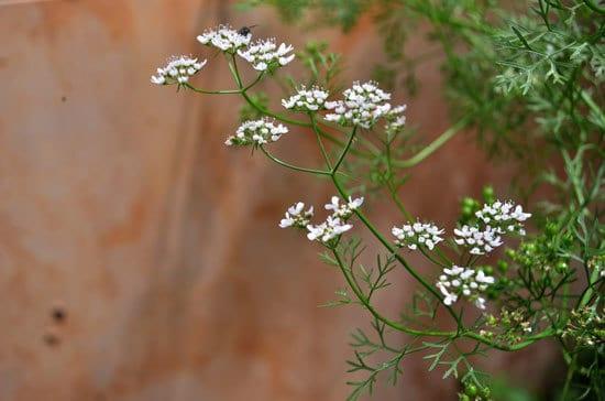 Best Perennial Herbs Garden Plants Cilantro