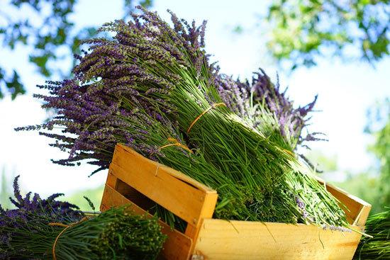 Best Perennial Herbs Garden Plants Lavender 2