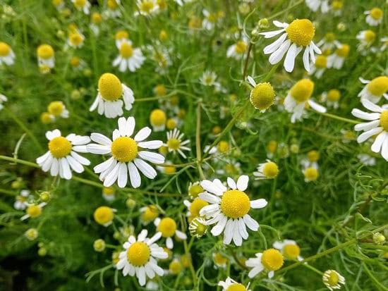 Best Perennial Herbs Garden Plants Roman Chamomile